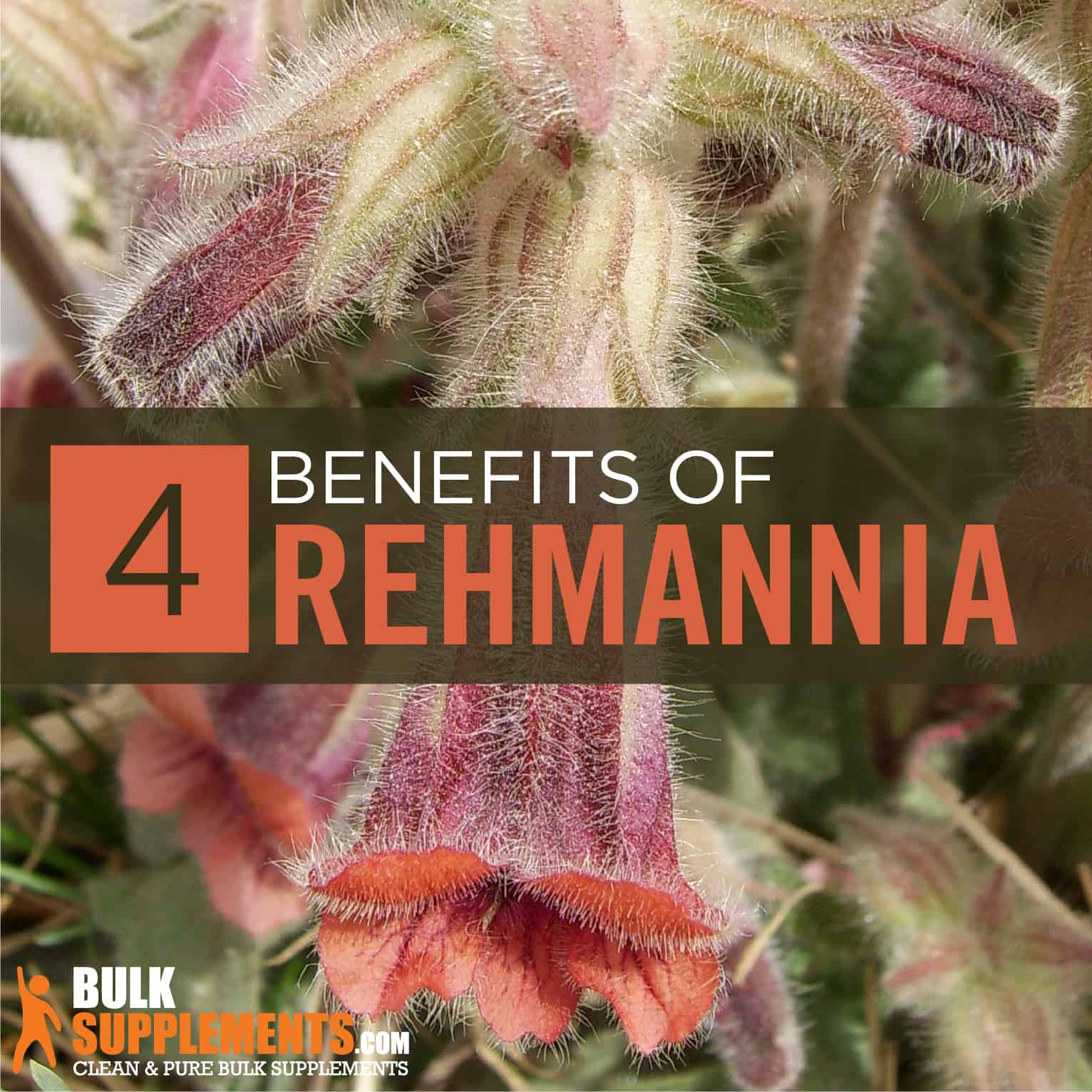 Rehmannia